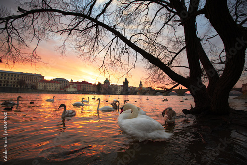 Swans in the city