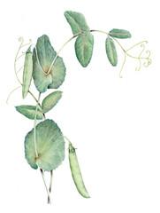 Pisello - Pisum sativum