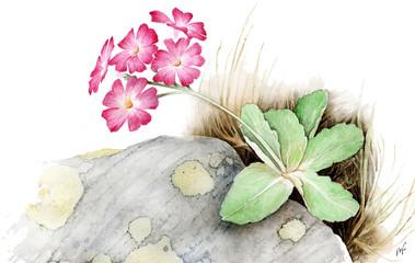 Primula appenninica - Primula apennina