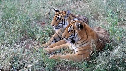 Zwei Tiger - Großkatze
