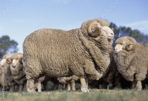 Canvas Schapen Merino rams