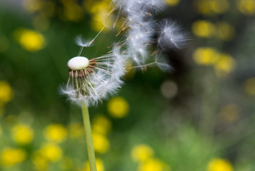 Dandelion seed head bevor green background, Taraxacum flower