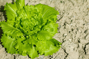 beautiful lettuce outdoors