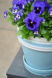 Blue pansy flowerpot