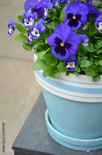 Fotobehang Pansies Blue pansy flowerpot