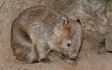 Wombat digger bear from Australia portrait