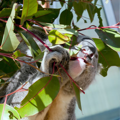 A koala while eating on a tree