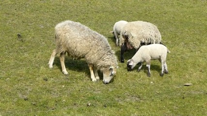 Sheep and Lambs Grazing in a Field