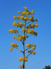 fiore di finocchio selvatico