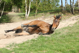 Brown horse rolling in the sand in hot summer