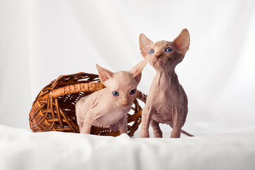 Sphynx kittens playing naughty, and cut