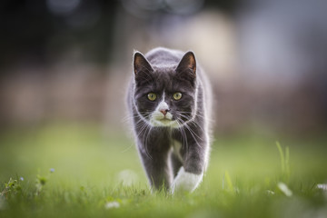 Chat en chasse