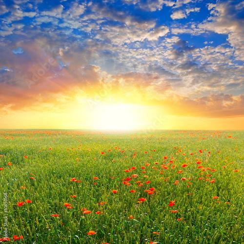 Fototapeta red poppy field at the sunrise
