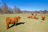 Herd of highland cattle on Swedish farm