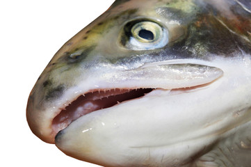 Head of a salmon