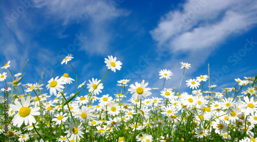 Poster Madeliefjes white daisies