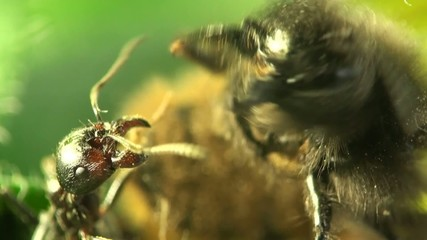 The fight ant and bee