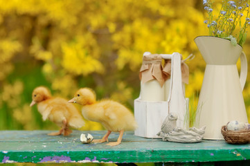 on a yellow background fluffy ducklings on a green bench