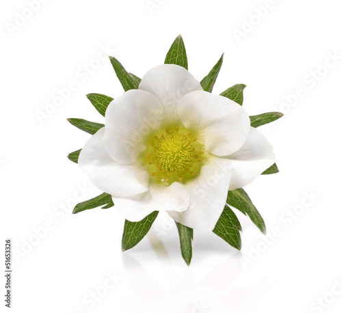 Green leafs of strawberry with flower isolated