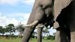 Stoßzähne eines Elefanten