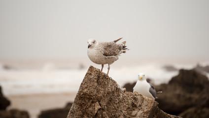 Seagull (Larus occidentalis)