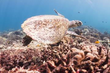 Hawksbill sea turtle at Surin national park