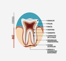 Anatomía de un diente en Español