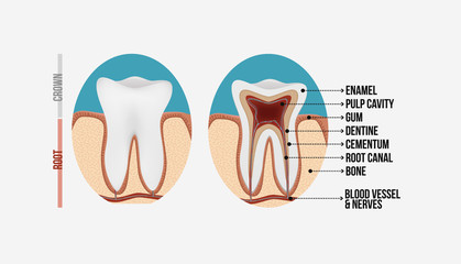Tooth anatomy with labeling