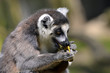Portrait ring-tailed Lemur (Lemur catta) eating a banana