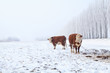 two cows on winter pasture
