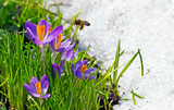beautiful violet crocuses and cute bee