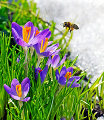 bee flying near first spring flowers