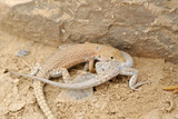 Battle of sexes of desert lizards