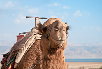 A camel at the Dead Sea .