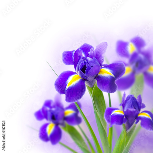 beautiful irises on a white background and bokeh
