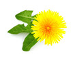 Flower dandelion whit leaves