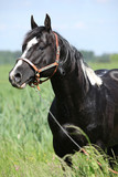 Paint horse stallion with western halter on pasturage