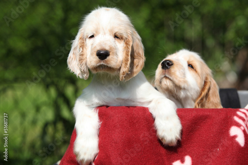 Gorgeous English Cocker Spaniel puppies