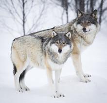 Trois loups dans la neige