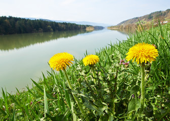 Dandelion by the river, spring time in Slovenia