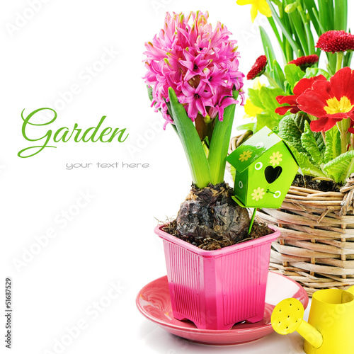 Pink hyacinth flower with bulb