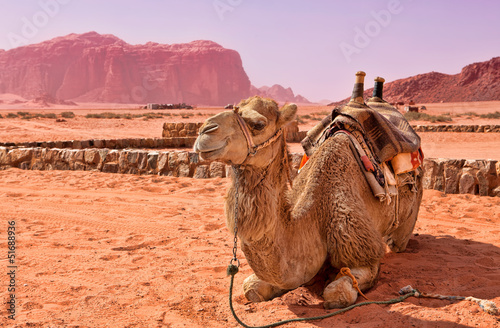 Camel in the desert of Jordan. Wadi Rum