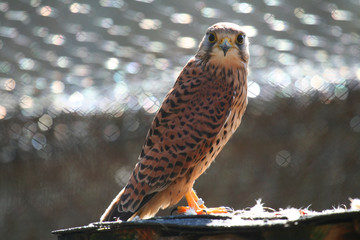 Male Common Kestrel in captivity