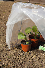 Young Brussels Sprout Plants