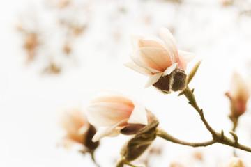 Blossoming magnolia