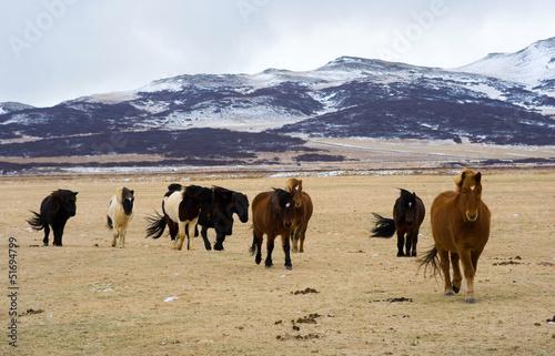 Fotobehang Antarctica 2 Icelandic Horses
