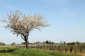 un cerisier en fleur en bordure de vignoble
