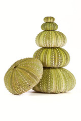 Green sea urchins stacked