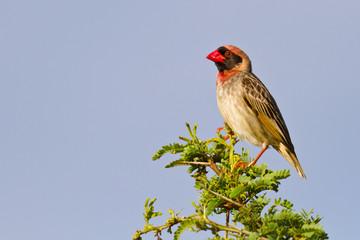 Red bille quelea sitting on green branch