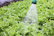 Agriculture, watering of fresh lettuce in a greenhouse